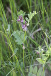 "Zaun-Wicke - Vicia sepium; Bildquelle: <a href=""https://www.pflanzen-deutschland.de/quellen.php?bild_quelle=Wikipedia User Rotatebot"">Wikipedia User Rotatebot</a>; Bildlizenz: <a href=""https://creativecommons.org/licenses/by-sa/3.0/deed.de"" target=_blank title=""Namensnennung - Weitergabe unter gleichen Bedingungen 3.0 Unported (CC BY-SA 3.0)"">CC BY-SA 3.0</a>; <br>Wiki Commons Bildbeschreibung: <a href=""https://commons.wikimedia.org/wiki/File:Vicia_sepium_IMG_8053_Hurum.JPG"" target=_blank title=""https://commons.wikimedia.org/wiki/File:Vicia_sepium_IMG_8053_Hurum.JPG"">https://commons.wikimedia.org/wiki/File:Vicia_sepium_IMG_8053_Hurum.JPG</a>"