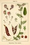 """Zaun-Wicke - Vicia sepium; Bildquelle: <a href=""""https://www.pflanzen-deutschland.de/quellen.php?bild_quelle=Deutschlands Flora in Abbildungen, Johann Georg Sturm 1796"""">Deutschlands Flora in Abbildungen, Johann Georg Sturm 1796</a>; Bildlizenz: <a href=""""https://creativecommons.org/licenses/publicdomain/deed.de"""" target=_blank title=""""Public Domain"""">Public Domain</a>;"""