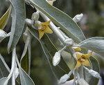 """Schmalblättrige Ölweide - Elaeagnus angustifolia; Bildquelle: <a href=""""https://www.pflanzen-deutschland.de/quellen.php?bild_quelle=Wikipedia User Cillas"""">Wikipedia User Cillas</a>; Bildlizenz: <a href=""""https://creativecommons.org/licenses/by-sa/3.0/deed.de"""" target=_blank title=""""Namensnennung - Weitergabe unter gleichen Bedingungen 3.0 Unported (CC BY-SA 3.0)"""">CC BY-SA 3.0</a>;"""