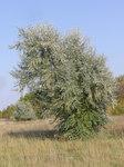 """Schmalblättrige Ölweide - Elaeagnus angustifolia; Bildquelle: <a href=""""https://www.pflanzen-deutschland.de/quellen.php?bild_quelle=Wikipedia User Le.Loup.Gris"""">Wikipedia User Le.Loup.Gris</a>; Bildlizenz: <a href=""""https://creativecommons.org/licenses/by-sa/3.0/deed.de"""" target=_blank title=""""Namensnennung - Weitergabe unter gleichen Bedingungen 3.0 Unported (CC BY-SA 3.0)"""">CC BY-SA 3.0</a>;"""