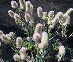 """Schmalblättriger Klee - Trifolium angustifolium; Bildquelle: <a href=""""https://www.pflanzen-deutschland.de/quellen.php?bild_quelle=Wikipedia User McZusatz"""">Wikipedia User McZusatz</a>; Bildlizenz: <a href=""""https://creativecommons.org/licenses/by-sa/3.0/deed.de"""" target=_blank title=""""Namensnennung - Weitergabe unter gleichen Bedingungen 3.0 Unported (CC BY-SA 3.0)"""">CC BY-SA 3.0</a>; <br>Wiki Commons Bildbeschreibung: <a href=""""http://commons.wikimedia.org/wiki/File:Trifolium_angustifolium_(8432195134).jpg"""" target=_blank title=""""http://commons.wikimedia.org/wiki/File:Trifolium_angustifolium_(8432195134).jpg"""">http://commons.wikimedia.org/wiki/File:Trifolium_angustifolium_(8432195134).jpg</a>"""
