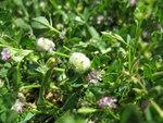 """Filziger Klee - Trifolium tomentosum; Bildquelle: <a href=""""https://www.pflanzen-deutschland.de/quellen.php?bild_quelle=Wikipedia User Amada44"""">Wikipedia User Amada44</a>; Bildlizenz: <a href=""""https://creativecommons.org/licenses/by-sa/3.0/deed.de"""" target=_blank title=""""Namensnennung - Weitergabe unter gleichen Bedingungen 3.0 Unported (CC BY-SA 3.0)"""">CC BY-SA 3.0</a>; <br>Wiki Commons Bildbeschreibung: <a href=""""https://commons.wikimedia.org/wiki/File:Trifolium_tomentosum_flowerhead3_(15654731506).jpg"""" target=_blank title=""""https://commons.wikimedia.org/wiki/File:Trifolium_tomentosum_flowerhead3_(15654731506).jpg"""">https://commons.wikimedia.org/wiki/File:Trifolium_tomentosum_flowerhead3_(15654731506).jpg</a>"""