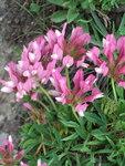 """Westalpen-Klee - Trifolium alpinum; Bildquelle: <a href=""""https://www.pflanzen-deutschland.de/quellen.php?bild_quelle=Wikipedia User LukVL"""">Wikipedia User LukVL</a>; Bildlizenz: <a href=""""https://creativecommons.org/licenses/by-sa/3.0/deed.de"""" target=_blank title=""""Namensnennung - Weitergabe unter gleichen Bedingungen 3.0 Unported (CC BY-SA 3.0)"""">CC BY-SA 3.0</a>; <br>Wiki Commons Bildbeschreibung: <a href=""""http://commons.wikimedia.org/wiki/File:Trifolium_alpinum_02.JPG"""" target=_blank title=""""http://commons.wikimedia.org/wiki/File:Trifolium_alpinum_02.JPG"""">http://commons.wikimedia.org/wiki/File:Trifolium_alpinum_02.JPG</a>"""
