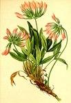 """Westalpen-Klee - Trifolium alpinum; Bildquelle: <a href=""""https://www.pflanzen-deutschland.de/quellen.php?bild_quelle=Wikipedia User Aroche"""">Wikipedia User Aroche</a>; Bildlizenz: <a href=""""https://creativecommons.org/licenses/by-sa/3.0/deed.de"""" target=_blank title=""""Namensnennung - Weitergabe unter gleichen Bedingungen 3.0 Unported (CC BY-SA 3.0)"""">CC BY-SA 3.0</a>; <br>Wiki Commons Bildbeschreibung: <a href=""""http://commons.wikimedia.org/wiki/File:Trifolium_alpinum_Atlas_Alpenflora.jpg"""" target=_blank title=""""http://commons.wikimedia.org/wiki/File:Trifolium_alpinum_Atlas_Alpenflora.jpg"""">http://commons.wikimedia.org/wiki/File:Trifolium_alpinum_Atlas_Alpenflora.jpg</a>"""