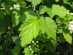 """Ulmen-Spiere - Spiraea chamaedryifolia; Bildquelle: <a href=""""https://www.pflanzen-deutschland.de/quellen.php?bild_quelle=Wikipedia User Qwert1234"""">Wikipedia User Qwert1234</a>; Bildlizenz: <a href=""""https://creativecommons.org/licenses/by-sa/3.0/deed.de"""" target=_blank title=""""Namensnennung - Weitergabe unter gleichen Bedingungen 3.0 Unported (CC BY-SA 3.0)"""">CC BY-SA 3.0</a>; <br>Wiki Commons Bildbeschreibung: <a href=""""http://commons.wikimedia.org/wiki/File:Spiraea_chamaedryfolia_var._pilosa_2.JPG"""" target=_blank title=""""http://commons.wikimedia.org/wiki/File:Spiraea_chamaedryfolia_var._pilosa_2.JPG"""">http://commons.wikimedia.org/wiki/File:Spiraea_chamaedryfolia_var._pilosa_2.JPG</a>"""
