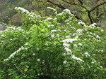 """Ulmen-Spiere - Spiraea chamaedryifolia; Bildquelle: <a href=""""https://www.pflanzen-deutschland.de/quellen.php?bild_quelle=Wikipedia User Qwert1234"""">Wikipedia User Qwert1234</a>; Bildlizenz: <a href=""""https://creativecommons.org/licenses/by-sa/3.0/deed.de"""" target=_blank title=""""Namensnennung - Weitergabe unter gleichen Bedingungen 3.0 Unported (CC BY-SA 3.0)"""">CC BY-SA 3.0</a>; <br>Wiki Commons Bildbeschreibung: <a href=""""http://commons.wikimedia.org/wiki/File:Spiraea_chamaedryfolia_var._pilosa_4.JPG"""" target=_blank title=""""http://commons.wikimedia.org/wiki/File:Spiraea_chamaedryfolia_var._pilosa_4.JPG"""">http://commons.wikimedia.org/wiki/File:Spiraea_chamaedryfolia_var._pilosa_4.JPG</a>"""