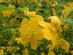 """Japanisches Goldröschen - Kerria japonica; Bildquelle: <a href=""""https://www.pflanzen-deutschland.de/quellen.php?bild_quelle=Wikipedia User Jeffdelonge"""">Wikipedia User Jeffdelonge</a>; Bildlizenz: <a href=""""https://creativecommons.org/licenses/by-sa/3.0/deed.de"""" target=_blank title=""""Namensnennung - Weitergabe unter gleichen Bedingungen 3.0 Unported (CC BY-SA 3.0)"""">CC BY-SA 3.0</a>; <br>Wiki Commons Bildbeschreibung: <a href=""""http://commons.wikimedia.org/wiki/File:Kerria_japonica01.jpg"""" target=_blank title=""""http://commons.wikimedia.org/wiki/File:Kerria_japonica01.jpg"""">http://commons.wikimedia.org/wiki/File:Kerria_japonica01.jpg</a>"""