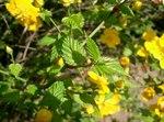 """Japanisches Goldröschen - Kerria japonica; Bildquelle: <a href=""""https://www.pflanzen-deutschland.de/quellen.php?bild_quelle=Wikipedia User KENPEI"""">Wikipedia User KENPEI</a>; Bildlizenz: <a href=""""https://creativecommons.org/licenses/by-sa/3.0/deed.de"""" target=_blank title=""""Namensnennung - Weitergabe unter gleichen Bedingungen 3.0 Unported (CC BY-SA 3.0)"""">CC BY-SA 3.0</a>; <br>Wiki Commons Bildbeschreibung: <a href=""""http://commons.wikimedia.org/wiki/File:Kerria_japonica2.jpg"""" target=_blank title=""""http://commons.wikimedia.org/wiki/File:Kerria_japonica2.jpg"""">http://commons.wikimedia.org/wiki/File:Kerria_japonica2.jpg</a>"""