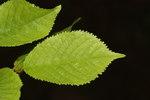 """Sauerkirsche - Prunus cerasus; Bildquelle: <a href=""""https://www.pflanzen-deutschland.de/quellen.php?bild_quelle=Wikipedia User Wsiegmund"""">Wikipedia User Wsiegmund</a>; Bildlizenz: <a href=""""https://creativecommons.org/licenses/by-sa/3.0/deed.de"""" target=_blank title=""""Namensnennung - Weitergabe unter gleichen Bedingungen 3.0 Unported (CC BY-SA 3.0)"""">CC BY-SA 3.0</a>; <br>Wiki Commons Bildbeschreibung: <a href=""""http://commons.wikimedia.org/wiki/File:Prunus_cerasus_2429.JPG"""" target=_blank title=""""http://commons.wikimedia.org/wiki/File:Prunus_cerasus_2429.JPG"""">http://commons.wikimedia.org/wiki/File:Prunus_cerasus_2429.JPG</a>"""