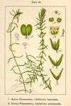 """Haken-Wasserstern - Callitriche hamulata; Bildquelle: <a href=""""https://www.pflanzen-deutschland.de/quellen.php?bild_quelle=Deutschlands Flora in Abbildungen 1796"""">Deutschlands Flora in Abbildungen 1796</a>; Bildlizenz: <a href=""""https://creativecommons.org/licenses/publicdomain/deed.de"""" target=_blank title=""""Public Domain"""">Public Domain</a>;"""