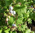 """Blut-Johannisbeere - Ribes sanguineum; Bildquelle: <a href=""""https://www.pflanzen-deutschland.de/quellen.php?bild_quelle=Wolfgang Heinrich, Erlangen"""">Wolfgang Heinrich, Erlangen</a>; Bildlizenz: <a href="""""""" target=_blank title=""""""""></a>;"""