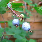 """Blut-Johannisbeere - Ribes sanguineum; Bildquelle: <a href=""""https://www.pflanzen-deutschland.de/quellen.php?bild_quelle=Wikipedia User Hagen Graebner"""">Wikipedia User Hagen Graebner</a>; Bildlizenz: <a href=""""https://creativecommons.org/licenses/by-sa/3.0/deed.de"""" target=_blank title=""""Namensnennung - Weitergabe unter gleichen Bedingungen 3.0 Unported (CC BY-SA 3.0)"""">CC BY-SA 3.0</a>;"""