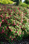 """Blut-Johannisbeere - Ribes sanguineum; Bildquelle: <a href=""""https://www.pflanzen-deutschland.de/quellen.php?bild_quelle=Wikipedia User Kenraiz"""">Wikipedia User Kenraiz</a>; Bildlizenz: <a href="""""""" target=_blank title=""""""""></a>;"""