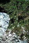 """Alpen-Seidelbast - Daphne alpina; Bildquelle: <a href=""""https://www.pflanzen-deutschland.de/quellen.php?bild_quelle=Wikipedia User Sporti"""">Wikipedia User Sporti</a>; Bildlizenz: <a href=""""https://creativecommons.org/licenses/by-sa/2.5/deed.de"""" target=_blank title=""""Namensnennung - Weitergabe unter gleichen Bedingungen 2.5 Unported (CC BY-SA 2.5)"""">CC BY 2.5</a>; <br>Wiki Commons Bildbeschreibung: <a href=""""https://commons.wikimedia.org/wiki/File:Daphne_alpina_-_Nanos.jpg"""" target=_blank title=""""https://commons.wikimedia.org/wiki/File:Daphne_alpina_-_Nanos.jpg"""">https://commons.wikimedia.org/wiki/File:Daphne_alpina_-_Nanos.jpg</a>"""