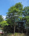 """Gewöhnliche Robinie - Robinia pseudoacacia; Bildquelle: <a href=""""https://www.pflanzen-deutschland.de/quellen.php?bild_quelle=Wikipedia User JoJan"""">Wikipedia User JoJan</a>; Bildlizenz: <a href=""""https://creativecommons.org/licenses/by-sa/3.0/deed.de"""" target=_blank title=""""Namensnennung - Weitergabe unter gleichen Bedingungen 3.0 Unported (CC BY-SA 3.0)"""">CC BY-SA 3.0</a>; <br>Wiki Commons Bildbeschreibung: <a href=""""http://commons.wikimedia.org/wiki/File:Robinia_pseudacacia11.JPEG"""" target=_blank title=""""http://commons.wikimedia.org/wiki/File:Robinia_pseudacacia11.JPEG"""">http://commons.wikimedia.org/wiki/File:Robinia_pseudacacia11.JPEG</a>"""