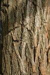 """Gewöhnliche Robinie - Robinia pseudoacacia; Bildquelle: <a href=""""https://www.pflanzen-deutschland.de/quellen.php?bild_quelle=Wikipedia User Androstachys"""">Wikipedia User Androstachys</a>; Bildlizenz: <a href=""""https://creativecommons.org/licenses/by-sa/3.0/deed.de"""" target=_blank title=""""Namensnennung - Weitergabe unter gleichen Bedingungen 3.0 Unported (CC BY-SA 3.0)"""">CC BY-SA 3.0</a>; <br>Wiki Commons Bildbeschreibung: <a href=""""http://commons.wikimedia.org/wiki/File:Robinia_pseudacacia02.jpg"""" target=_blank title=""""http://commons.wikimedia.org/wiki/File:Robinia_pseudacacia02.jpg"""">http://commons.wikimedia.org/wiki/File:Robinia_pseudacacia02.jpg</a>"""