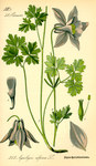 "Alpen-Akelei - Aquilegia alpina; Bildquelle: <a href=""https://www.pflanzen-deutschland.de/quellen.php?bild_quelle=Wikipedia User Topjabot"">Wikipedia User Topjabot</a>; Bildlizenz: <a href=""https://creativecommons.org/licenses/by-sa/3.0/deed.de"" target=_blank title=""Namensnennung - Weitergabe unter gleichen Bedingungen 3.0 Unported (CC BY-SA 3.0)"">CC BY-SA 3.0</a>; <br>Wiki Commons Bildbeschreibung: <a href=""https://commons.wikimedia.org/wiki/File:Illustration_Aquilegia_alpina0.jpg"" target=_blank title=""https://commons.wikimedia.org/wiki/File:Illustration_Aquilegia_alpina0.jpg"">https://commons.wikimedia.org/wiki/File:Illustration_Aquilegia_alpina0.jpg</a>"