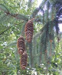 "Fichte - Picea abies; Bildquelle: <a href=""https://www.pflanzen-deutschland.de/quellen.php?bild_quelle=Wikipedia User File Upload Bot Magnus Manske"">Wikipedia User File Upload Bot Magnus Manske</a>; Bildlizenz: <a href=""https://creativecommons.org/licenses/by-sa/3.0/deed.de"" target=_blank title=""Namensnennung - Weitergabe unter gleichen Bedingungen 3.0 Unported (CC BY-SA 3.0)"">CC BY-SA 3.0</a>;"