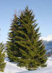 "Fichte - Picea abies; Bildquelle: <a href=""https://www.pflanzen-deutschland.de/quellen.php?bild_quelle=Wikipedia User Yelm"">Wikipedia User Yelm</a>; Bildlizenz: <a href=""https://creativecommons.org/licenses/by-sa/3.0/deed.de"" target=_blank title=""Namensnennung - Weitergabe unter gleichen Bedingungen 3.0 Unported (CC BY-SA 3.0)"">CC BY-SA 3.0</a>;"