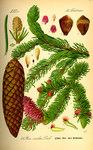 """Fichte - Picea abies; Bildquelle: <a href=""""https://www.pflanzen-deutschland.de/quellen.php?bild_quelle=Prof. Dr. Otto Wilhelm Thome Flora von Deutschland, Österreich und der Schweiz 1885, Gera, Germany"""">Prof. Dr. Otto Wilhelm Thome Flora von Deutschland, Österreich und der Schweiz 1885, Gera, Germany</a>; Bildlizenz: <a href=""""https://creativecommons.org/licenses/publicdomain/deed.de"""" target=_blank title=""""Public Domain"""">Public Domain</a>;"""
