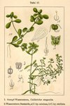 """Teich-Wasserstern - Callitriche stagnalis; Bildquelle: <a href=""""https://www.pflanzen-deutschland.de/quellen.php?bild_quelle=Deutschlands Flora in Abbildungen 1796"""">Deutschlands Flora in Abbildungen 1796</a>; Bildlizenz: <a href=""""https://creativecommons.org/licenses/publicdomain/deed.de"""" target=_blank title=""""Public Domain"""">Public Domain</a>;"""