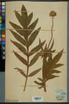"""Alpen-Schuppenkopf - Cephalaria alpina; Bildquelle: <a href=""""https://www.pflanzen-deutschland.de/quellen.php?bild_quelle=Wikipedia User Neuchatel Herbarium"""">Wikipedia User Neuchatel Herbarium</a>; Bildlizenz: <a href=""""https://creativecommons.org/licenses/by-sa/3.0/deed.de"""" target=_blank title=""""Namensnennung - Weitergabe unter gleichen Bedingungen 3.0 Unported (CC BY-SA 3.0)"""">CC BY-SA 3.0</a>; <br>Wiki Commons Bildbeschreibung: <a href=""""https://commons.wikimedia.org/wiki/File:Neuch%C3%A2tel_Herbarium_-_Cephalaria_alpina_-_NEU000030103.jpg"""" target=_blank title=""""https://commons.wikimedia.org/wiki/File:Neuch%C3%A2tel_Herbarium_-_Cephalaria_alpina_-_NEU000030103.jpg"""">https://commons.wikimedia.org/wiki/File:Neuch%C3%A2tel_Herbarium_-_Cephalaria_alpina_-_NEU000030103.jpg</a>"""