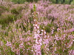 "Besenheide - Calluna vulgaris; Bildquelle: <a href=""https://www.pflanzen-deutschland.de/quellen.php?bild_quelle=Wikipedia User Willow"">Wikipedia User Willow</a>; Bildlizenz: <a href=""https://creativecommons.org/licenses/by-sa/3.0/deed.de"" target=_blank title=""Namensnennung - Weitergabe unter gleichen Bedingungen 3.0 Unported (CC BY-SA 3.0)"">CC BY-SA 3.0</a>; <br>Wiki Commons Bildbeschreibung: <a href=""https://commons.wikimedia.org/wiki/File:Calluna_vulgaris_004.jpg"" target=_blank title=""https://commons.wikimedia.org/wiki/File:Calluna_vulgaris_004.jpg"">https://commons.wikimedia.org/wiki/File:Calluna_vulgaris_004.jpg</a>"