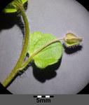 """Hain-Ehrenpreis - Veronica sublobata; Bildquelle: <a href=""""https://www.pflanzen-deutschland.de/quellen.php?bild_quelle=Wikipedia User Stefan.lefnaer"""">Wikipedia User Stefan.lefnaer</a>; Bildlizenz: <a href=""""https://creativecommons.org/licenses/by/4.0/deed.de"""" target=_blank title=""""Namensnennung 4.0 International (CC BY 4.0)"""">CC BY 4.0</a>; <br>Wiki Commons Bildbeschreibung: <a href=""""https://commons.wikimedia.org/wiki/File:Veronica_sublobata_sl6.jpg"""" target=_blank title=""""https://commons.wikimedia.org/wiki/File:Veronica_sublobata_sl6.jpg"""">https://commons.wikimedia.org/wiki/File:Veronica_sublobata_sl6.jpg</a>"""
