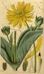 """Durchwachsene Silphie - Silphium perfoliatum; Bildquelle: <a href=""""https://www.pflanzen-deutschland.de/quellen.php?bild_quelle=Curtis Botanical Magazine 1834 61. Band. Tafel 3354."""">Curtis Botanical Magazine 1834 61. Band. Tafel 3354.</a>; Bildlizenz: <a href=""""https://creativecommons.org/licenses/publicdomain/deed.de"""" target=_blank title=""""Public Domain"""">Public Domain</a>;"""