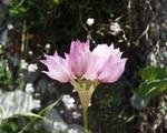 """Narzissenblütiger Lauch - Allium narcissiflorum; Bildquelle: <a href=""""https://www.pflanzen-deutschland.de/quellen.php?bild_quelle=Wikipedia User Abalgcommonswiki"""">Wikipedia User Abalgcommonswiki</a>; Bildlizenz: <a href=""""https://creativecommons.org/licenses/by-sa/3.0/deed.de"""" target=_blank title=""""Namensnennung - Weitergabe unter gleichen Bedingungen 3.0 Unported (CC BY-SA 3.0)"""">CC BY-SA 3.0</a>; <br>Wiki Commons Bildbeschreibung: <a href=""""https://commons.wikimedia.org/wiki/File:Allium_narcissiflorum31072004fleurp%C3%A9doncules.JPG"""" target=_blank title=""""https://commons.wikimedia.org/wiki/File:Allium_narcissiflorum31072004fleurp%C3%A9doncules.JPG"""">https://commons.wikimedia.org/wiki/File:Allium_narcissiflorum31072004fleurp%C3%A9doncules.JPG</a>"""