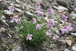 """Narzissenblütiger Lauch - Allium narcissiflorum; Bildquelle: <a href=""""https://www.pflanzen-deutschland.de/quellen.php?bild_quelle=Wikipedia User Abalgcommonswiki"""">Wikipedia User Abalgcommonswiki</a>; Bildlizenz: <a href=""""https://creativecommons.org/licenses/by-sa/3.0/deed.de"""" target=_blank title=""""Namensnennung - Weitergabe unter gleichen Bedingungen 3.0 Unported (CC BY-SA 3.0)"""">CC BY-SA 3.0</a>; <br>Wiki Commons Bildbeschreibung: <a href=""""https://commons.wikimedia.org/wiki/File:Allium_narcissiflorum05072006.JPG"""" target=_blank title=""""https://commons.wikimedia.org/wiki/File:Allium_narcissiflorum05072006.JPG"""">https://commons.wikimedia.org/wiki/File:Allium_narcissiflorum05072006.JPG</a>"""