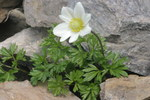 "Tiroler Windröschen - Anemone baldensis; Bildquelle: <a href=""https://www.pflanzen-deutschland.de/quellen.php?bild_quelle=Wikipedia User HermannSchachner"">Wikipedia User HermannSchachner</a>; Bildlizenz: <a href=""https://creativecommons.org/licenses/publicdomain/deed.de"" target=_blank title=""Public Domain"">Public Domain</a>;"
