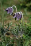 "Berg-Küchenschelle - Pulsatilla montana; Bildquelle: <a href=""https://www.pflanzen-deutschland.de/quellen.php?bild_quelle=Wikipedia User Franz Xaver"">Wikipedia User Franz Xaver</a>; Bildlizenz: <a href=""https://creativecommons.org/licenses/by-sa/3.0/deed.de"" target=_blank title=""Namensnennung - Weitergabe unter gleichen Bedingungen 3.0 Unported (CC BY-SA 3.0)"">CC BY-SA 3.0</a>; <br>Wiki Commons Bildbeschreibung: <a href=""https://commons.wikimedia.org/wiki/File:Pulsatilla_montana_1.jpg"" target=_blank title=""https://commons.wikimedia.org/wiki/File:Pulsatilla_montana_1.jpg"">https://commons.wikimedia.org/wiki/File:Pulsatilla_montana_1.jpg</a>"