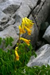 "Gelber Lerchensporn - Corydalis lutea; Bildquelle: <a href=""https://www.pflanzen-deutschland.de/quellen.php?bild_quelle=Wikipedia User Enrico Blasutto"">Wikipedia User Enrico Blasutto</a>; Bildlizenz: <a href=""https://creativecommons.org/licenses/by-sa/3.0/deed.de"" target=_blank title=""Namensnennung - Weitergabe unter gleichen Bedingungen 3.0 Unported (CC BY-SA 3.0)"">CC BY-SA 3.0</a>; <br>Wiki Commons Bildbeschreibung: <a href=""https://commons.wikimedia.org/wiki/File:Corydalis_lutea_ENBLA02.jpeg"" target=_blank title=""https://commons.wikimedia.org/wiki/File:Corydalis_lutea_ENBLA02.jpeg"">https://commons.wikimedia.org/wiki/File:Corydalis_lutea_ENBLA02.jpeg</a>"