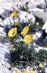 """Gelber Alpenmohn - Papaver alpinum ssp. rhaeticum; Bildquelle: <a href=""""https://www.pflanzen-deutschland.de/quellen.php?bild_quelle=Wikipedia User File Upload Bot Magnus Manske"""">Wikipedia User File Upload Bot Magnus Manske</a>; Bildlizenz: <a href=""""https://creativecommons.org/licenses/by-sa/2.0/deed.de"""" target=_blank title=""""Namensnennung - Weitergabe unter gleichen Bedingungen 2.0 Unported (CC BY-SA 2.0)"""">CC BY 2.0</a>; <br>Wiki Commons Bildbeschreibung: <a href=""""https://commons.wikimedia.org/wiki/File:Papaver_alpinum_ssp._rhaeticum_(Leresche)_Nym._(7569738010).jpg"""" target=_blank title=""""https://commons.wikimedia.org/wiki/File:Papaver_alpinum_ssp._rhaeticum_(Leresche)_Nym._(7569738010).jpg"""">https://commons.wikimedia.org/wiki/File:Papaver_alpinum_ssp._rhaeticum_(Leresche)_Nym._(7569738010).jpg</a>"""