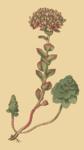 """Rundblättrige Fetthenne - Sedum anacampseros; Bildquelle: <a href=""""https://www.pflanzen-deutschland.de/quellen.php?bild_quelle=Curtis, William The Botanical Magazine, Vol. 4"""">Curtis, William The Botanical Magazine, Vol. 4</a>; Bildlizenz: <a href=""""https://creativecommons.org/licenses/publicdomain/deed.de"""" target=_blank title=""""Public Domain"""">Public Domain</a>;"""