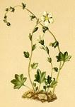 """Nickender Steinbrech - Saxifraga cernua; Bildquelle: <a href=""""https://www.pflanzen-deutschland.de/quellen.php?bild_quelle=Atlas der Alpenflora. Anton Hartinger 1882"""">Atlas der Alpenflora. Anton Hartinger 1882</a>; Bildlizenz: <a href=""""https://creativecommons.org/licenses/publicdomain/deed.de"""" target=_blank title=""""Public Domain"""">Public Domain</a>;"""