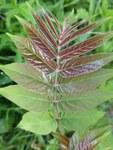 """Götterbaum - Ailanthus altissima; Bildquelle: <a href=""""https://www.pflanzen-deutschland.de/quellen.php?bild_quelle=Wikipedia User Rudolphous"""">Wikipedia User Rudolphous</a>; Bildlizenz: <a href=""""https://creativecommons.org/licenses/by/4.0/deed.de"""" target=_blank title=""""Namensnennung 4.0 International (CC BY 4.0)"""">CC BY 4.0</a>; <br>Wiki Commons Bildbeschreibung: <a href=""""https://commons.wikimedia.org/wiki/File:Noordwijk_-_Hemelboom_(Ailanthus_altissima).jpg"""" target=_blank title=""""https://commons.wikimedia.org/wiki/File:Noordwijk_-_Hemelboom_(Ailanthus_altissima).jpg"""">https://commons.wikimedia.org/wiki/File:Noordwijk_-_Hemelboom_(Ailanthus_altissima).jpg</a>"""