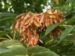 "Götterbaum - Ailanthus altissima; Bildquelle: <a href=""https://www.pflanzen-deutschland.de/quellen.php?bild_quelle=Wikipedia User Cbaile19"">Wikipedia User Cbaile19</a>; Bildlizenz: <a href=""https://creativecommons.org/licenses/by-sa/3.0/deed.de"" target=_blank title=""Namensnennung - Weitergabe unter gleichen Bedingungen 3.0 Unported (CC BY-SA 3.0)"">CC BY-SA 3.0</a>; <br>Wiki Commons Bildbeschreibung: <a href=""https://commons.wikimedia.org/wiki/File:Ailanthus_altissima,_2015-06-28,_Three_Rivers_Heritage_Trail,_01.jpg"" target=_blank title=""https://commons.wikimedia.org/wiki/File:Ailanthus_altissima,_2015-06-28,_Three_Rivers_Heritage_Trail,_01.jpg"">https://commons.wikimedia.org/wiki/File:Ailanthus_altissima,_2015-06-28,_Three_Rivers_Heritage_Trail,_01.jpg</a>"