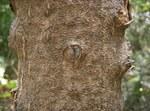 """Götterbaum - Ailanthus altissima; Bildquelle: <a href=""""https://www.pflanzen-deutschland.de/quellen.php?bild_quelle=Wikipedia User KENPEI"""">Wikipedia User KENPEI</a>; Bildlizenz: <a href=""""https://creativecommons.org/licenses/by-sa/3.0/deed.de"""" target=_blank title=""""Namensnennung - Weitergabe unter gleichen Bedingungen 3.0 Unported (CC BY-SA 3.0)"""">CC BY-SA 3.0</a>; <br>Wiki Commons Bildbeschreibung: <a href=""""https://commons.wikimedia.org/wiki/File:Ailanthus_altissima6.jpg"""" target=_blank title=""""https://commons.wikimedia.org/wiki/File:Ailanthus_altissima6.jpg"""">https://commons.wikimedia.org/wiki/File:Ailanthus_altissima6.jpg</a>"""