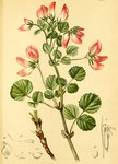 """Rundblättrige Hauhechel - Ononis rotundifolia; Bildquelle: <a href=""""https://www.pflanzen-deutschland.de/quellen.php?bild_quelle=Atlas der Alpenflora. Anton Hartinger 1882"""">Atlas der Alpenflora. Anton Hartinger 1882</a>; Bildlizenz: <a href=""""https://creativecommons.org/licenses/publicdomain/deed.de"""" target=_blank title=""""Public Domain"""">Public Domain</a>;"""