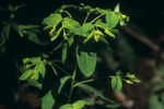 """Krainer Wolfsmilch - Euphorbia carniolica; Bildquelle: <a href=""""https://www.pflanzen-deutschland.de/quellen.php?bild_quelle=Wikipedia User Jan Eckstein"""">Wikipedia User Jan Eckstein</a>; Bildlizenz: <a href=""""https://creativecommons.org/licenses/by-sa/3.0/deed.de"""" target=_blank title=""""Namensnennung - Weitergabe unter gleichen Bedingungen 3.0 Unported (CC BY-SA 3.0)"""">CC BY-SA 3.0</a>; <br>Wiki Commons Bildbeschreibung: <a href=""""https://commons.wikimedia.org/wiki/File:Euphorbia_carniolica_Zagon_Slovenia.jpg"""" target=_blank title=""""https://commons.wikimedia.org/wiki/File:Euphorbia_carniolica_Zagon_Slovenia.jpg"""">https://commons.wikimedia.org/wiki/File:Euphorbia_carniolica_Zagon_Slovenia.jpg</a>"""