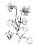 """Pfennigblättriges Veilchen - Viola nummulariifolia; Bildquelle: <a href=""""https://www.pflanzen-deutschland.de/quellen.php?bild_quelle=Hippolye Coste 1858-1924, Flore descriptive et illustr�e de la France, de la Corse et des contr�es limitrophes, publi� de 1900 � 1906 aux �ditions Paul Klincksieck.Date 30 June 2007"""">Hippolye Coste 1858-1924, Flore descriptive et illustr�e de la France, de la Corse et des contr�es limitrophes, publi� de 1900 � 1906 aux �ditions Paul Klincksieck.Date 30 June 2007</a>; Bildlizenz: <a href=""""https://creativecommons.org/licenses/publicdomain/deed.de"""" target=_blank title=""""Public Domain"""">Public Domain</a>;"""