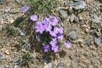"""Mont-Cenis-Veilchen - Viola cenisia; Bildquelle: <a href=""""https://www.pflanzen-deutschland.de/quellen.php?bild_quelle=Wikipedia User Abalgcommonswiki"""">Wikipedia User Abalgcommonswiki</a>; Bildlizenz: <a href=""""https://creativecommons.org/licenses/by-sa/3.0/deed.de"""" target=_blank title=""""Namensnennung - Weitergabe unter gleichen Bedingungen 3.0 Unported (CC BY-SA 3.0)"""">CC BY-SA 3.0</a>; <br>Wiki Commons Bildbeschreibung: <a href=""""https://commons.wikimedia.org/wiki/File:Viola_cenisia04072006_2.JPG"""" target=_blank title=""""https://commons.wikimedia.org/wiki/File:Viola_cenisia04072006_2.JPG"""">https://commons.wikimedia.org/wiki/File:Viola_cenisia04072006_2.JPG</a>"""