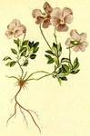 """Mont-Cenis-Veilchen - Viola cenisia; Bildquelle: <a href=""""https://www.pflanzen-deutschland.de/quellen.php?bild_quelle=Anton Hartinger, Atlas der Alpenflora 1882"""">Anton Hartinger, Atlas der Alpenflora 1882</a>; Bildlizenz: <a href=""""https://creativecommons.org/licenses/publicdomain/deed.de"""" target=_blank title=""""Public Domain"""">Public Domain</a>;"""