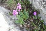 """Breitblättrige Primel - Primula latifolia; Bildquelle: <a href=""""https://www.pflanzen-deutschland.de/quellen.php?bild_quelle=Wikipedia User Uleli"""">Wikipedia User Uleli</a>; Bildlizenz: <a href=""""https://creativecommons.org/licenses/by-sa/3.0/deed.de"""" target=_blank title=""""Namensnennung - Weitergabe unter gleichen Bedingungen 3.0 Unported (CC BY-SA 3.0)"""">CC BY-SA 3.0</a>; <br>Wiki Commons Bildbeschreibung: <a href=""""https://commons.wikimedia.org/wiki/File:Primula_latifolia_subsp._latifolia_SOPHY.JPG"""" target=_blank title=""""https://commons.wikimedia.org/wiki/File:Primula_latifolia_subsp._latifolia_SOPHY.JPG"""">https://commons.wikimedia.org/wiki/File:Primula_latifolia_subsp._latifolia_SOPHY.JPG</a>"""