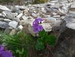"""Breitblättrige Primel - Primula latifolia; Bildquelle: <a href=""""https://www.pflanzen-deutschland.de/quellen.php?bild_quelle=Wikipedia User Medard"""">Wikipedia User Medard</a>; Bildlizenz: <a href=""""https://creativecommons.org/licenses/by/4.0/deed.de"""" target=_blank title=""""Namensnennung 4.0 International (CC BY 4.0)"""">CC BY 4.0</a>; <br>Wiki Commons Bildbeschreibung: <a href=""""https://commons.wikimedia.org/wiki/File:Primula_latifolia_-_N%C3%A9vache.jpg"""" target=_blank title=""""https://commons.wikimedia.org/wiki/File:Primula_latifolia_-_N%C3%A9vache.jpg"""">https://commons.wikimedia.org/wiki/File:Primula_latifolia_-_N%C3%A9vache.jpg</a>"""