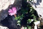 """Ganzblättrige Primel - Primula integrifolia; Bildquelle: <a href=""""https://www.pflanzen-deutschland.de/quellen.php?bild_quelle=Wikipedia User Ghislain118"""">Wikipedia User Ghislain118</a>; Bildlizenz: <a href=""""https://creativecommons.org/licenses/by-sa/3.0/deed.de"""" target=_blank title=""""Namensnennung - Weitergabe unter gleichen Bedingungen 3.0 Unported (CC BY-SA 3.0)"""">CC BY-SA 3.0</a>; <br>Wiki Commons Bildbeschreibung: <a href=""""https://commons.wikimedia.org/wiki/File:Primula_integrifolia_(pyrenees).JPG"""" target=_blank title=""""https://commons.wikimedia.org/wiki/File:Primula_integrifolia_(pyrenees).JPG"""">https://commons.wikimedia.org/wiki/File:Primula_integrifolia_(pyrenees).JPG</a>"""