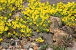 """Goldprimel - Vitaliana primuliflora; Bildquelle: <a href=""""https://www.pflanzen-deutschland.de/quellen.php?bild_quelle=Wikipedia User Michael w"""">Wikipedia User Michael w</a>; Bildlizenz: <a href=""""https://creativecommons.org/licenses/by-sa/3.0/deed.de"""" target=_blank title=""""Namensnennung - Weitergabe unter gleichen Bedingungen 3.0 Unported (CC BY-SA 3.0)"""">CC BY-SA 3.0</a>; <br>Wiki Commons Bildbeschreibung: <a href=""""https://commons.wikimedia.org/wiki/File:Vitaliana_primuliflora_02.jpg"""" target=_blank title=""""https://commons.wikimedia.org/wiki/File:Vitaliana_primuliflora_02.jpg"""">https://commons.wikimedia.org/wiki/File:Vitaliana_primuliflora_02.jpg</a>"""
