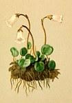 """Kleines Alpenglöckchen - Soldanella pusilla; Bildquelle: <a href=""""https://www.pflanzen-deutschland.de/quellen.php?bild_quelle=Atlas der Alpenflora. Anton Hartinger 1882"""">Atlas der Alpenflora. Anton Hartinger 1882</a>; Bildlizenz: <a href=""""https://creativecommons.org/licenses/publicdomain/deed.de"""" target=_blank title=""""Public Domain"""">Public Domain</a>;"""